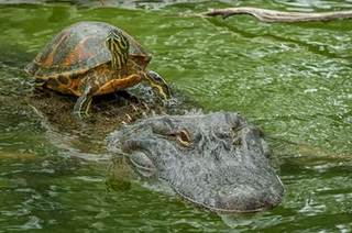 A-terrapin-hitches-a-ride-on-the-back-of-an-alligator.jpg